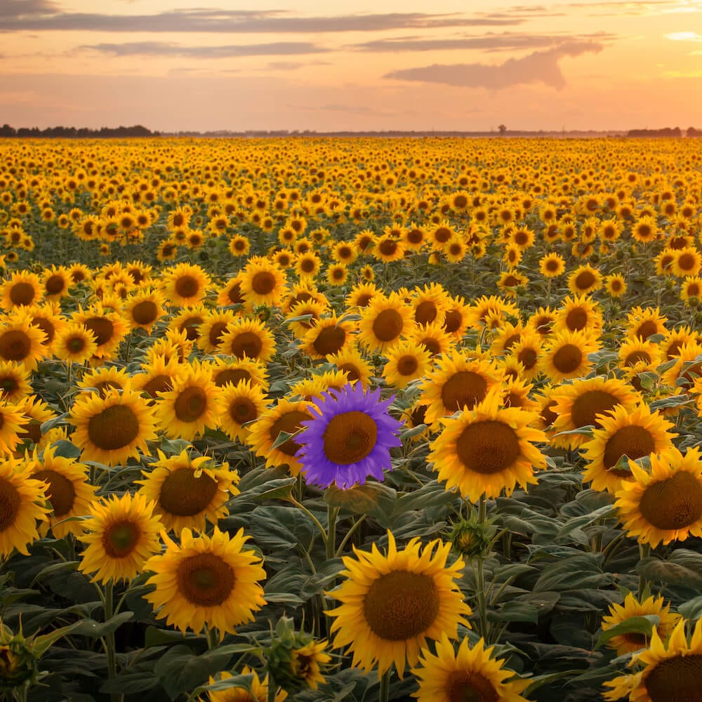 Sunflower - one purple